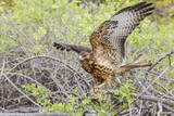Immature Galapagos Hawk (Buteo Galapagoensis) in Urbina Bay Photographic Print by Michael Nolan