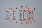 Lesser Flamingo (Phoeniconaias Minor) Group, Serengeti National Park, Tanzania, East Africa, Africa Papier Photo par James Hager