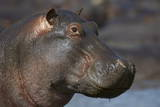 Hippopotamus (Hippopotamus Amphibius), Serengeti National Park, Tanzania Photographic Print by James Hager
