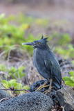 Adult Striated Heron Photographic Print by Michael Nolan