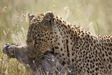 Leopard (Panthera Pardus) Carrying a Warthog Photographic Print by James Hager