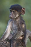 Infant Chacma Baboon (Papio Ursinus) Riding Photographic Print by James Hager