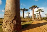 Baobab Trees, Morondava, Madagascar, Africa Photographic Print by Bruno Morandi