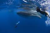Divers and Whale Shark (Rhincodon Typus) Reprodukcja zdjęcia autor Pablo Cersosimo