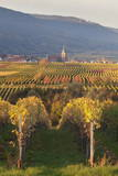 View over Vineyards to the Wine Village of Burrweiler in Autumn Photographic Print by Marcus Lange