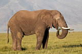 African Elephant (Loxodonta Africana) Bull Eating Photographic Print by James Hager
