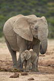 African Elephant (Loxodonta Africana) Mother and Baby Photographic Print by James Hager