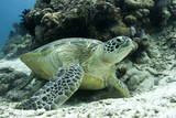 Green Sea Turtles (Chelonia Mydas) Common around Pom Pom Island Photographic Print by Louise Murray