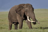 Bull African Elephant (Loxodonta Africana), Ngorongoro Crater, Tanzania, East Africa, Africa Photographic Print by James Hager