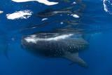 Whale Shark (Rhincodon Typus) and Suckerfish (Remora) (Echeneidae) Reprodukcja zdjęcia autor Pablo Cersosimo