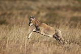 Blesbok (Damaliscus Pygargus Phillipsi) Lamb Leaping Photographic Print by James Hager
