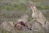 Cheetah (Acinonyx Jubatus) Family at a Kill, Serengeti National Park, Tanzania, East Africa, Africa Photographic Print by James Hager