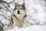 North American Timber Wolf (Canis Lupus) in Forest Fotografisk tryk af Louise Murray