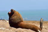 South American Sea Lion (Otaria Flavescens) Adult Male Photographic Print by Pablo Cersosimo