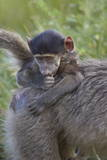 Infant Chacma Baboon (Papio Ursinus), Kruger National Park, South Africa, Africa Photographic Print by James Hager