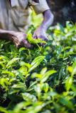 Hands of a Tea Picker Picking Tea in the Sri Lanka Central Highlands, Tea Country, Sri Lanka, Asia Fotografie-Druck von Matthew Williams-Ellis