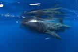 Whale Shark (Rhincodon Typus) and Suckerfish (Remora) (Echeneidae) Photographic Print by Pablo Cersosimo