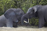 Two Teenaged Male African Elephant (Loxodonta Africana) Playing Photographic Print by James Hager