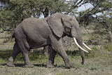 African Elephant (Loxodonta Africana), Serengeti National Park, Tanzania, East Africa, Africa Photographic Print by James Hager