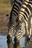 Two Common Zebra (Plains Zebra) (Burchell's Zebra) (Equus Burchelli) Drinking Photographic Print by James Hager