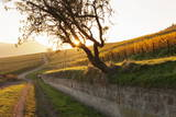 Path Through Vineyards in Autumn at Sunset Photographic Print by Marcus Lange
