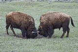 Two Bison (Bison Bison) Bulls Sparring Photographic Print by James Hager