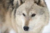 North American Timber Wolf (Canis Lupus) in Forest Fotografisk trykk av Louise Murray