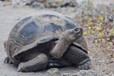 Wild Galapagos Giant Tortoise (Chelonoidis Nigra) in Urbina Bay Photographic Print by Michael Nolan