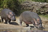 Two Hippopotamus (Hippopotamus Amphibius) Returning to the Water Fotografisk tryk af James Hager