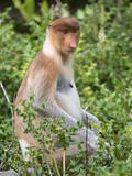 Female Proboscis Monkey (Nasalis Larvatus) Photographic Print by Louise Murray