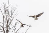 Osprey (Pandion Haliaetus) Along the Madison River Photographie par Michael Nolan
