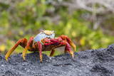 Sally Lightfoot Crab (Grapsus Grapsus) in the Intertidal Zone Photographic Print by Michael Nolan