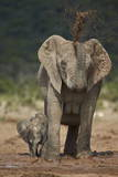 African Elephant (Loxodonta Africana) Mother Showering Photographic Print by James Hager