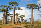 Baobab Trees, Morondava, Madagascar, Africa Fotografisk tryk af Bruno Morandi