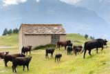Cows of Aosta Valley, Vetan, Aosta Valley, Italian Alps, Italy, Europe Photographic Print by Nico Tondini
