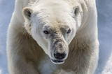Adult Polar Bear (Ursus Maritimus) Close Up Head Detail Papier Photo par Michael Nolan