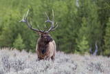 Bull Elk (Cervus Canadensis) Along the Madison River Photographic Print by Michael Nolan