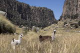 Alpaca and Llama in the Andes, Peru, South America Photographic Print by Peter Groenendijk