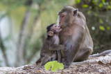 Young Long-Tailed Macaque (Macaca Fascicularis) Nuzzling its Mother in Angkor Thom Photographic Print by Michael Nolan
