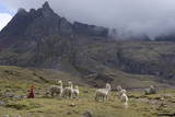 Llamas and Herder, Andes, Peru, South America Photographic Print by Peter Groenendijk