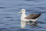 White-Capped Albatross, Thalassarche Steadi, in Calm Seas Off Kaikoura, South Island, New Zealand Photographic Print by Michael Nolan