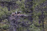 Osprey (Pandion Haliaetus) Fledglings Reproduction photographique par Michael Nolan