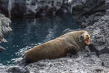 Galapagos Fur Seal (Arctocephalus Galapagoensis) Hauled Out at Puerto Egas Photographic Print by Michael Nolan