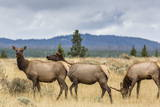 Elk Herd (Cervus Canadensis) Grazing in Yellowstone National Park Photographic Print by Michael Nolan