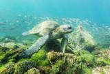 Adult Green Sea Turtle (Chelonia Mydas) Underwater Near Rabida Island Fotografie-Druck von Michael Nolan