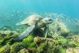 Adult Green Sea Turtle (Chelonia Mydas) Underwater Near Rabida Island Photographic Print by Michael Nolan