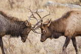 Bull Elk (Cervus Canadensis) Fighting in Rut in Rocky Mountain National Park Photographic Print by Michael Nolan