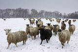 Sheep in Wintry Field Photographic Print by Stuart Black