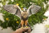 Aplomado Falcon (Falco Femoralis), Falconry, Argentina, South America Photographic Print by Pablo Cersosimo