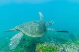 Adult Green Sea Turtle (Chelonia Mydas) Underwater Near Isabela Island Photographic Print by Michael Nolan